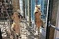 Mini Zoo Land, Slovenske Konjice - raccoons.jpg