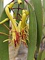 Mistletoe Muellerina eucalyptoides.jpg