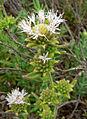 Monardella hypoleuca ssp lanata 3.jpg