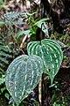 Monophyllorchis microstyloides (Orchidaceae) (30109622052).jpg