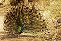 Monsoon Mania - the Dancing Peacock.jpg