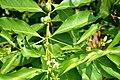 Morinda Coreia Foliage (DSC 9884).JPG