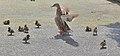 Mother Duck & Ducklings. (15770404912).jpg