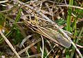 Mottled Grasshopper Myrmeleotettix maculatus large female.JPG