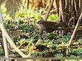 Moustached Warbler (Acrocephalus melanopogon) (34651261150).jpg