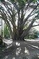Muckross big tree - geograph.org.uk - 777155.jpg
