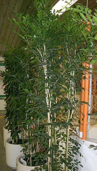 Murraya paniculata - M. paniculata in flower pots