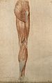 Muscles of the leg. Red chalk and pencil drawing by A. Durel Wellcome V0008261.jpg