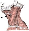 Musculussternocleidomastodieus.png