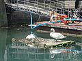 Mute Swans in Portsmouth Harbour at Old Portsmouth.JPG