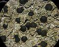 Mycoblastus sanguinarioides - Flickr - pellaea (1).jpg