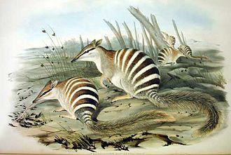 The Mammals of Australia - Plate from volume 1, Myrmecobius fasciatus