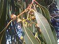 Myrtales - Eucalyptus dalrympleana 5.jpg