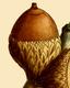 NAS-020f Quercus marilandica acorn.png