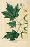 NAS-042 Acer saccharum.png
