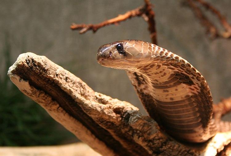 Naja-naja-kobra-kopf.jpg