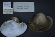 Naturalis Biodiversity Center - ZMA.MOLL.418635 - Potamilus capax (Green, 1832) - Unionidae - Mollusc shell.jpeg