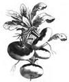 Navet rouge plat hâtif à feuille entière Vilmorin-Andrieux 1883.png
