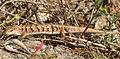 Neat to see this Southern Alligator Lizard (Elgaria multicarinata) (2888700931).jpg