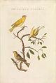 Nederlandsche vogelen (KB) - Serinus canaria (476b).jpg