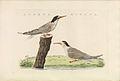 Nederlandsche vogelen (KB) - Sternula albifrons (466b).jpg