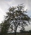 Neem Tree 3.jpg