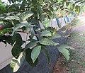 Nephelium lappaceum Rambutan at Thattekkadu (2).jpg