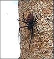 Nephilengis Madagascar 1.jpg