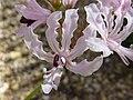 Nerine filifolia (Amaryllidaceae) flowers.JPG