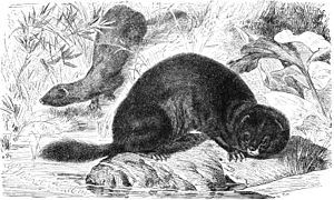 European mink - Illustration from Brehms Tierleben