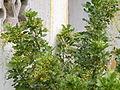 Ngâu (Aglaia duperreana) 2.JPG