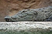 Crocodile/