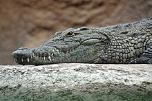 Nile crocodile head.jpg
