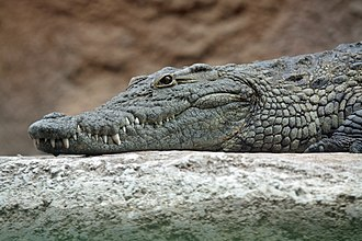 Nile crocodile - Nile crocodile's head