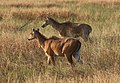 Nilgai in Blackbuck National Park 04.jpg