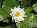 Nymphaea alba.001 - Breendonk.jpg
