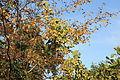 Oberhausen - Knappenhalde - Humulus lupulus 05 ies.jpg