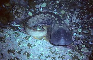 Ocean pout - Ocean pout, Newfoundland, Canada