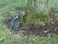 File:Ocicat on leash climbing a tree.webm