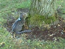 File:Ocicat on leash climbing a tree.webm