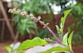 Ocimum tenuiflorum 18.jpg