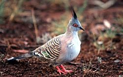 Ocyphaps lophotes (01) - cropped.jpg