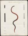 Oligodon subquadratus - 1700-1880 - Print - Iconographia Zoologica - Special Collections University of Amsterdam - UBA01 IZ12000249.tif