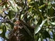 File:Olive-backed Oriole95.ogv