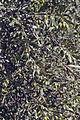 Olives (Tanche) (Drome 26000) Cl9.J Weber (3) (22754140167).jpg