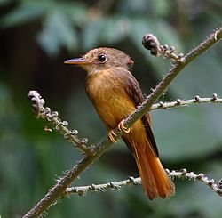 Onychorhynchus swainsoni - Atlantic Royal Flycatcher 02.jpg