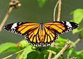 Open wing position of Danaus genutia Cramer 1779 - Striped Tiger WLB.jpg