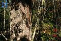Oppsprukken svart bark på gammel dunbjørk B.JPG