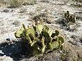 Opuntia sps. (5722884598).jpg