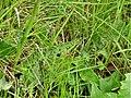 Orchidées Saint-Georges-Nigremont D32 près les Cantines (3).jpg